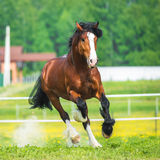 Bay Vladimir Heavy Draft horse runs gallop on the meadow Stock Photography