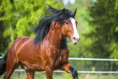 Bay Vladimir Heavy Draft horse runs gallop on the meadow Royalty Free Stock Photography