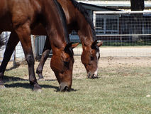 Bay warmblood horses grazing Royalty Free Stock Image