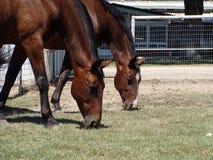 Bay warmblood horses grazing Royalty Free Stock Image