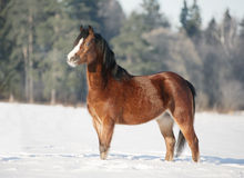 Bay welsh pony in snow Stock Photo