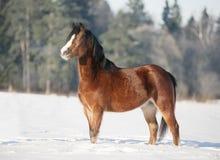 Bay welsh pony in snow Stock Photo
