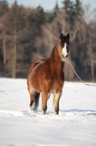 Bay welsh pony in snow Royalty Free Stock Photo