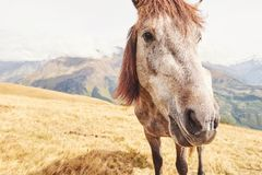 A bay and white colored horse with a long Blonde mane.  Royalty Free Stock Photo