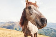 A bay and white colored horse with a long Blonde mane.  Royalty Free Stock Image