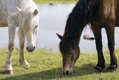 Bay and white horse graze on a green lawn  Stock Photography