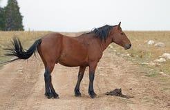 Bay wild horse stallion on Sykes ridge road in the Pryor Mountains wild horse range in Montana USA Royalty Free Stock Photo