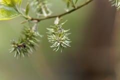 Bay willow tree Salix pentandra Stock Images