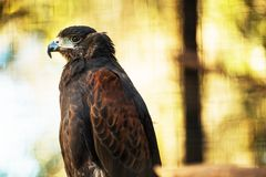 Bay-Winged Hawk Royalty Free Stock Image