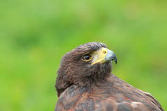 Bay winged Hawk Stock Images