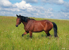 Bay young horse trotting Stock Photo