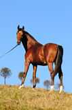 Bay young stallion Stock Images