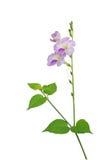 Baya,在白色背景隔绝的药用植物,截去的轻拍 免版税库存图片