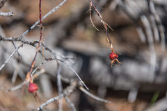 Baya color de rosa en una rama, disposición horizontal borrosa borrosa natural del brote del perro salvaje del fondo Imagenes de archivo