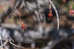 Baya color de rosa en una rama, disposición horizontal borrosa borrosa natural del brote del perro salvaje del fondo Foto de archivo