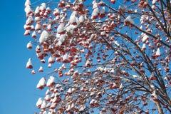 Baya de la ceniza de las ramas cubierta con nieve y escarcha Fotografía de archivo libre de regalías