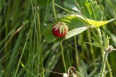 Baya de la fresa salvaje que crece en el ambiente natural Primer fotos de archivo libres de regalías