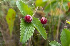 Baya de la fresa salvaje que crece en el ambiente natural Primer imagenes de archivo