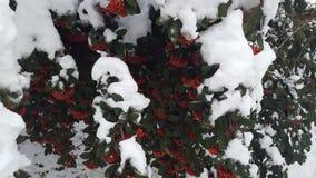 Baya de la nieve Fotografía de archivo