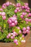 Baya de Pinkberry del gaulteriya de Pernettya Arbusto imperecedero decorativo de la familia del brezo Las frutas de Pernettya son imagen de archivo libre de regalías