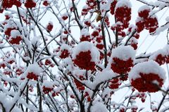 Baya de serbal roja debajo de la nieve recientemente caida fotos de archivo libres de regalías