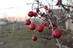 Baya del invierno que tortas en el té de la caída y de la bebida foto de archivo libre de regalías