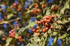 Baya del otoño en bosque Fotografía de archivo libre de regalías