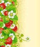 Baya del rojo del marco 2. de la fresa y flor blanca Imagen de archivo