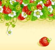 Baya del rojo del marco 3. de la fresa y flor blanca Fotografía de archivo libre de regalías