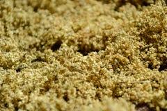 Baya del saúco aromática secada (sambucus) para el té, secando elderflowers frescos Fotos de archivo libres de regalías