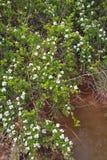 Baya del saúco Bush Foto de archivo