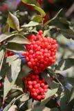 Baya del saúco del rojo de la ramificación Imagen de archivo libre de regalías