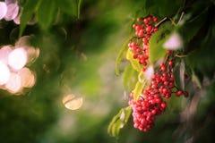 Baya del saúco roja (racemosa del Sambucus) en el arbusto Imagen de archivo