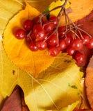 Baya del Viburnum en fondo del otoño de las hojas amarillas Temporada de otoño, comida del eco y concepto de la cosecha Foto de archivo libre de regalías