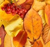 Baya del Viburnum en fondo del otoño de las hojas amarillas Temporada de otoño, comida del eco y concepto de la cosecha Foto de archivo
