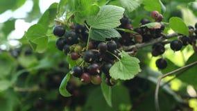 Baya dulce grande de la pasa Grosellas negras de la cosecha baya sabrosa en la rama Negocio del jard?n primer jugoso maduro negro almacen de metraje de vídeo