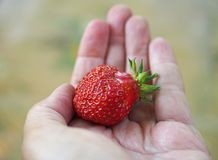 Baya madura de la fresa en una palma Fotos de archivo