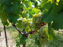 baya madura del vino imagenes de archivo