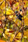 Baya negra en ramas del otoño imagenes de archivo