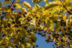 baya negra madura en arbustos de la rama Fotografía de archivo