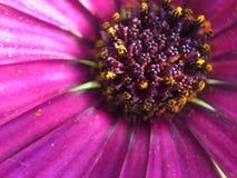 Baya púrpura Imágenes de archivo libres de regalías