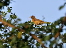 baya ptaka gałąź zieleń opuszczać umieszczającego drzewnego tkacza Zdjęcie Royalty Free