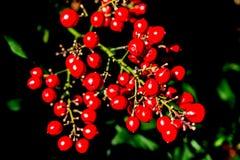 Baya roja Imagenes de archivo