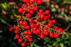 Baya roja brillante Imagen de archivo libre de regalías