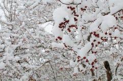 Baya roja debajo de la nieve Fotografía de archivo libre de regalías
