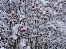 Baya roja debajo de la nieve Imagen de archivo
