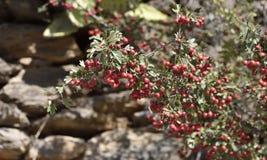 Baya roja del acebo entre las hojas verdes imagen de archivo libre de regalías