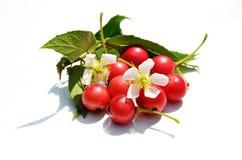 Baya roja en el fondo blanco Fotos de archivo libres de regalías