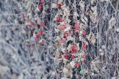 Baya roja en la hierba seca Imagen de archivo