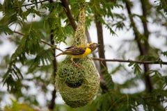 Baya tkacz gniazduje w koloni blisko Bangalore India Fotografia Stock